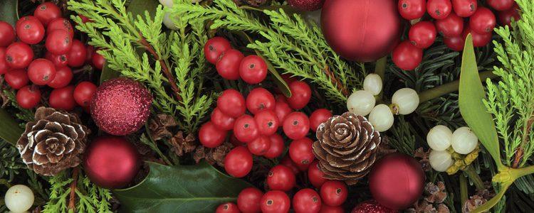 Acebo caracter sticas y cuidados de la planta de navidad - Cuidados planta navidad ...