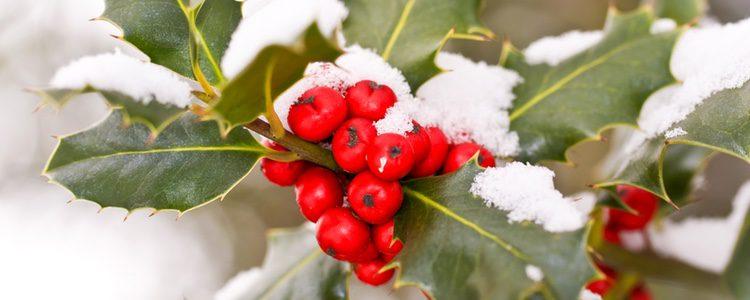 El acebo es una de las plantas más típicas de Navidad