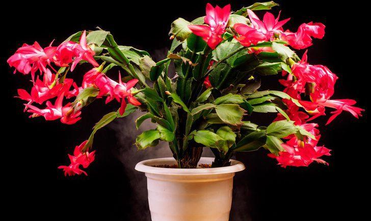 Plantas navideñas: Cactus de Navidad
