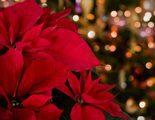 Plantas t�picas de Navidad