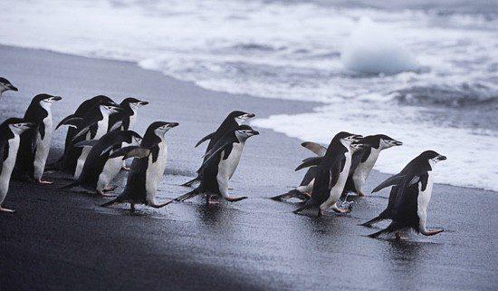 Pingüinos en las aguas de Isla Decepción en Shetland del Sur