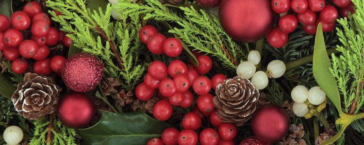 Planta de color verde oscuro que impera en la festividad de Navidad