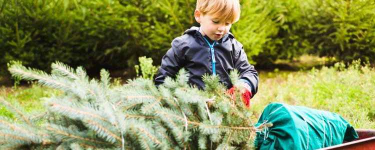 Al contrario de lo que la gente piensa, los árboles de Navidad naturales son mejores que los sintéticos