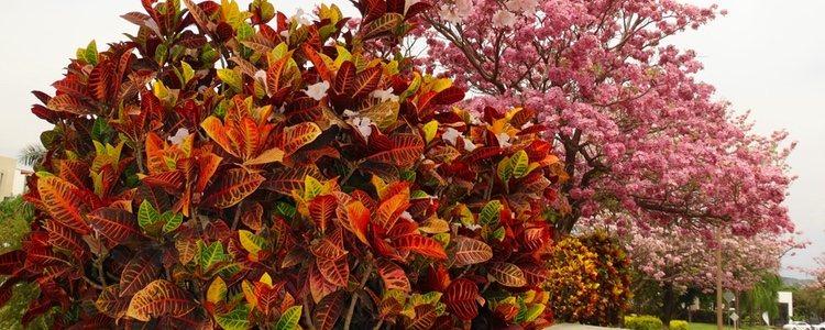 Esta planta es originaria de Polinesia o Indonesia