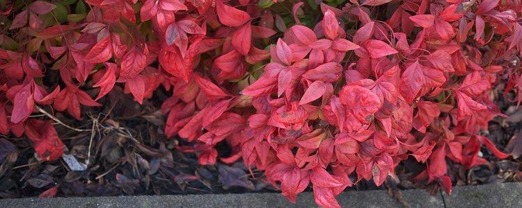 La Nandina tiene hojas verdes que se convierten en rojas en otoño