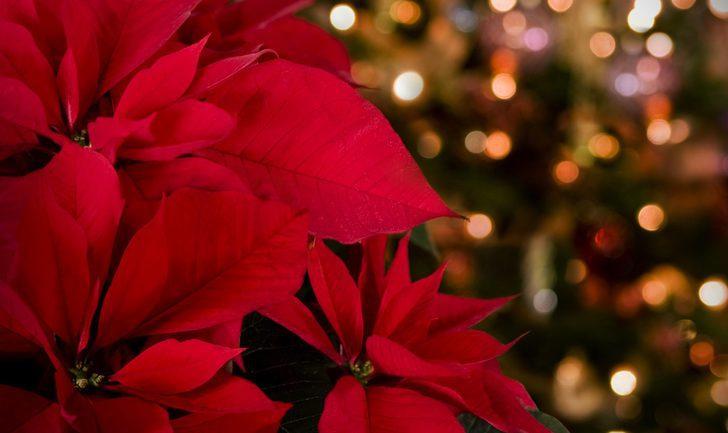 Plantas típicas de Navidad