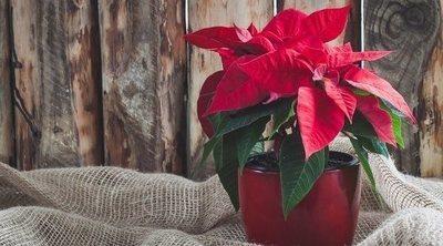 La Poinsettia y otras plantas de Navidad